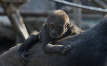 Gorilla family at Hellabrunn