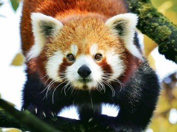 Red panda at Hellabrunn.
