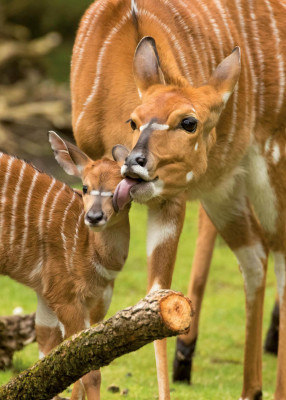 A nyala with its young.
