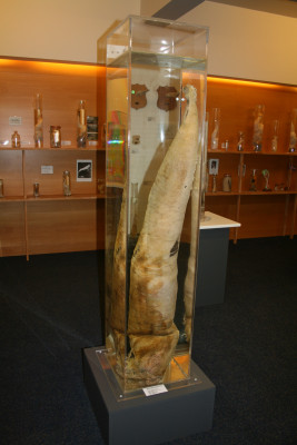 The sperm whale's specimen is one of the biggest exhibits.