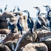 Cormorants, Kangaroo Island, SA 2014