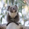 Koala, Kangaroo Island, SA 2014