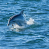 Dolphin, Kangaroo Island, SA 2014