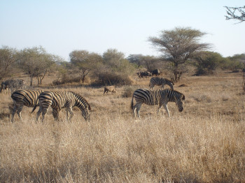 Watch zebras and many other animals.