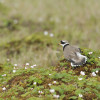 The great ringed plover is one of the mudflat inhabitants.
