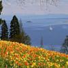 The tulips in full bloom.