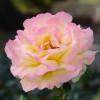 Rose Queen Gloria Dei