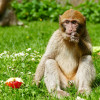 The monkeys represent a valuable reserve population for the wild populations in North Africa.