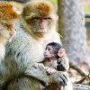 Barbary macaques are a highly endangered macaque species.