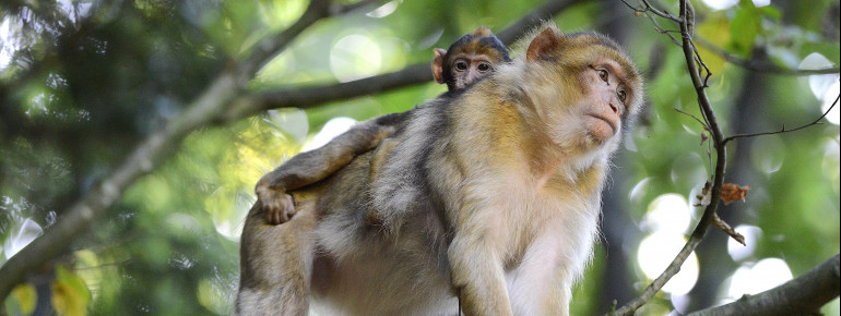 More than 200 Barbary macaques live on the Montagne des Singes near Kintzheim.