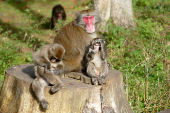 The Austrian Research Center for Primatology conducts research on the social behavior of the animals here.