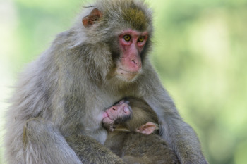 The Japanese macaques are also called snow monkeys.