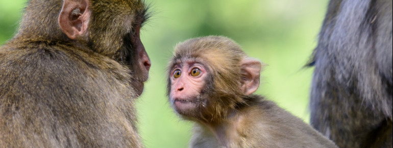 The monkey mountain Landskron is home to about 160 Japanese macaques.