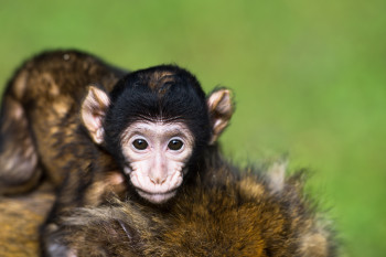 The monkey offspring will be born in May.