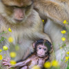 The free-living conspecifics of the Barbary macaques are highly endangered.