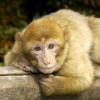 More than 200 Barbary macaques live on the Salem Monkey Mountain.