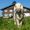 Lambs are also among the farm animals.