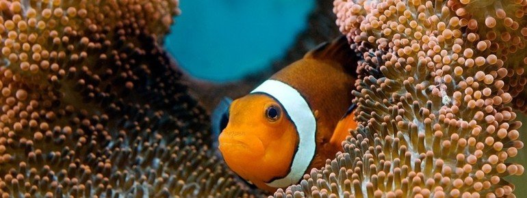 Clownfish within corals