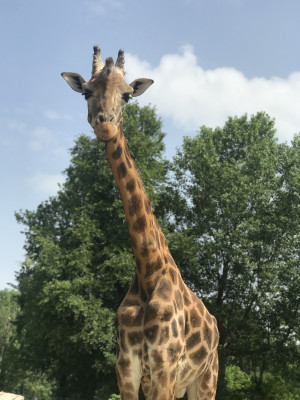 The giraffes in the safari park are quite curious and like to take a look at the visitors in the passing cars.