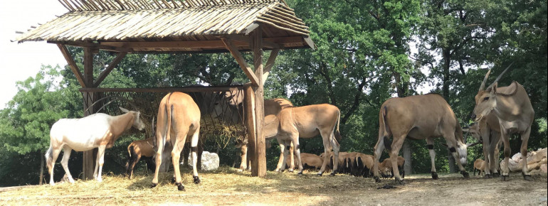 The African wild animals in the safari park are used to slowly passing cars. This does not disturb them when they are eating.
