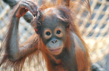 You come across animal babies at Rostock Zoo all year round. Here you can see the orang-utan baby Surya.
