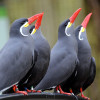 The Inca terns are at home in the animal houses 'Seevogel-Voliere' and 'Altweltaffen-Haus' at Rostock Zoo.