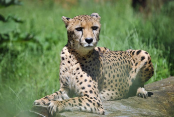 Visit the cheetah house at Rostock Zoo, to meet this big cat.