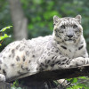 This image shows snow leopard Fiete at Rostock Zoo.