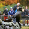 This brown fur seal says hello to the visitors of Rostock Zoo.