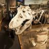 Tyrannosaurus Rex at the Royal Tyrrell Museum