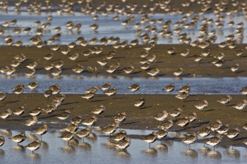Dunlins on the mudflat