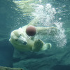 """At """"Franz Josef Land"""", visitors get to see polar bears swimming and diving."""