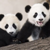 The Giant Panda twins, Fu Ban and Fu Feng, were born in August 2016 and are just one of several of the zoo's attractions and highlights.