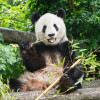 """As the Giant Panda is classified as """"Endangered"""" on the IUCN Red List, Schönbrunn Zoo is more than happy to be able to house this species."""