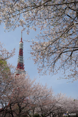Cherry blossoms and Tokyo Tower - both are typical for Japan.