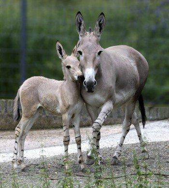 Somali wild asses.