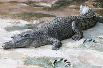 The zoo is also home to an estuarine crocodile.