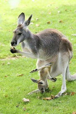 A kangaroo with its young.