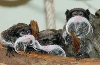 The emperor tamarins look particularly funny.