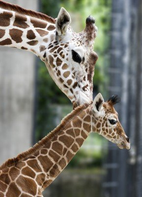 A giraffe with its young.