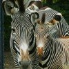 Grevy Zebras are at home here.
