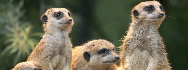The curious meerkats.
