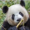 Panda Meng Meng during an intense nibbling session at the Zoo.