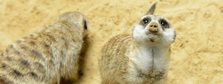 Hi there, meerkats!