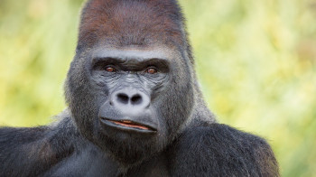Guess who looks a little intimidating, but is actually nicer than he seems? Yes, it is the gorilla!