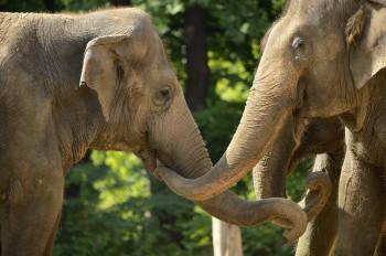 Having fun in the sun! Asian elephants at Berlin Zoo.