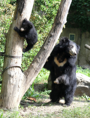 Zoo Leipzig is home to Europe's largest population of sloth bears.
