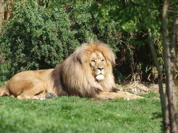 Lion Matadi is one of Zoo Leipzig's inhabitants.