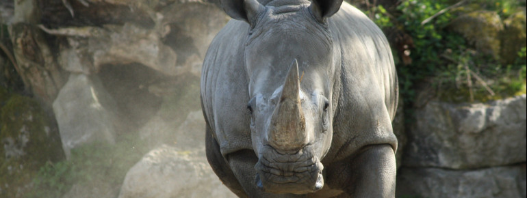 Rhinos have inhabited the earth for 50 million years.