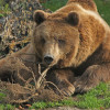 Brown bears weigh up to 250 kilos.